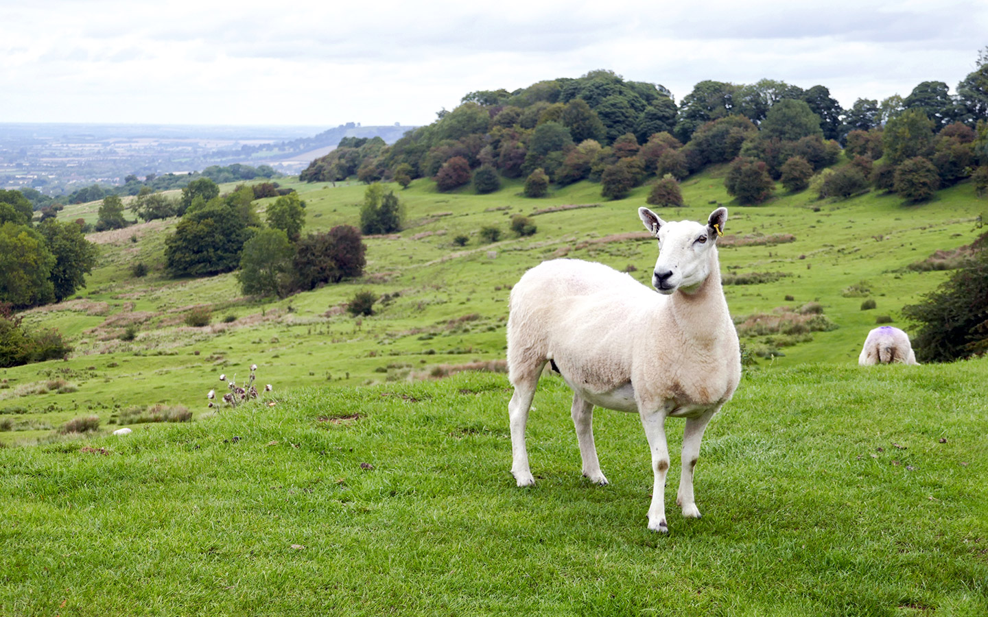 Sheep on Dover's Hill
