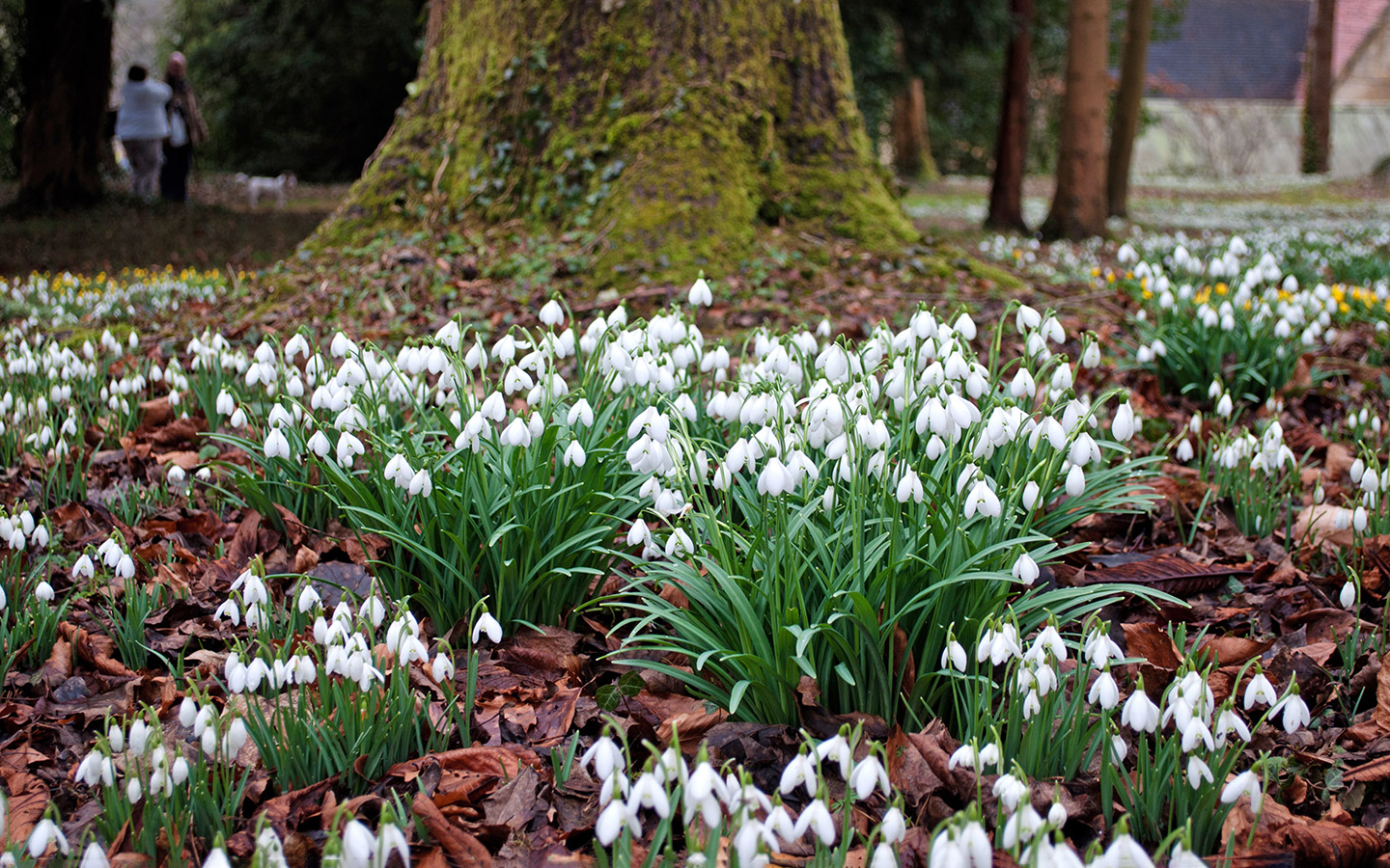 Spring in the Cotswolds: snowdrops at Colesbourne Park