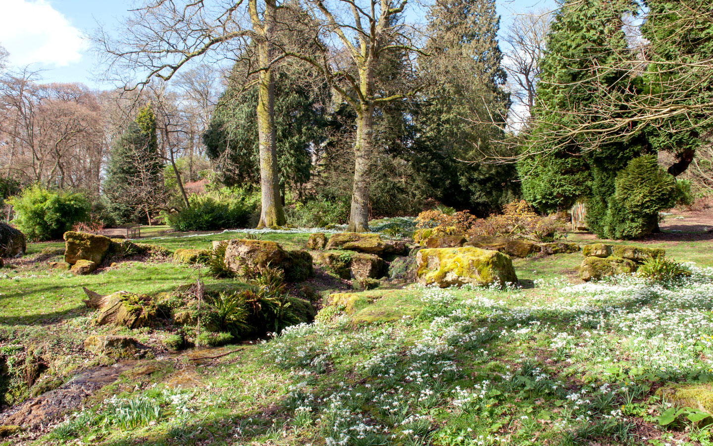 Snowdrops at Batsford Arboretum in the Cotswolds