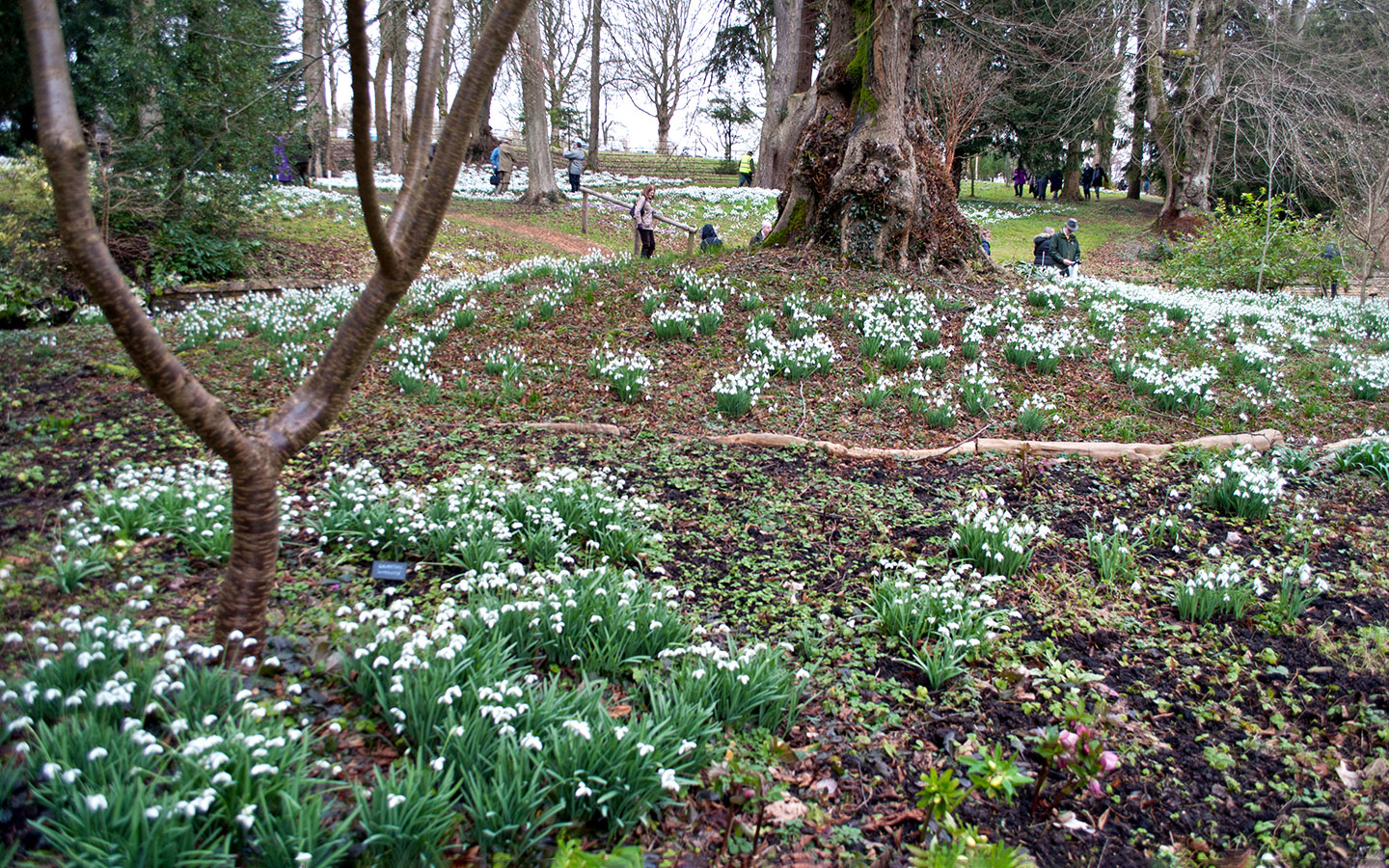 Snowdrops in the Cotswolds at Colesbourne Park