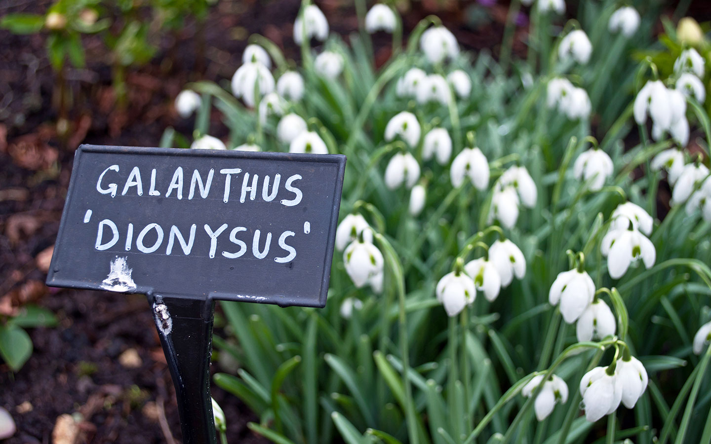 Snowdrops or Galanthus in the Cotswolds