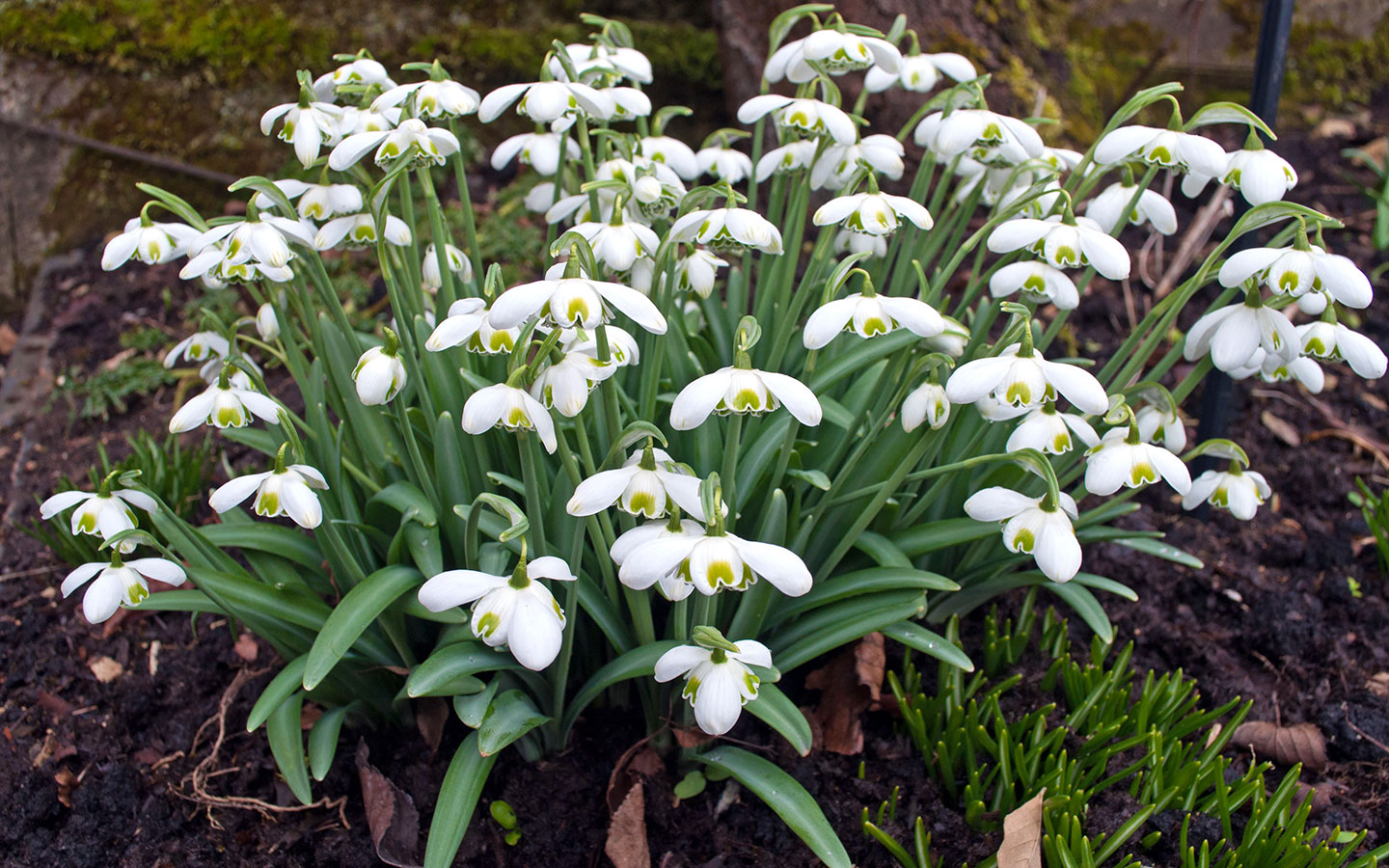 Unusual varieties of snowdrop