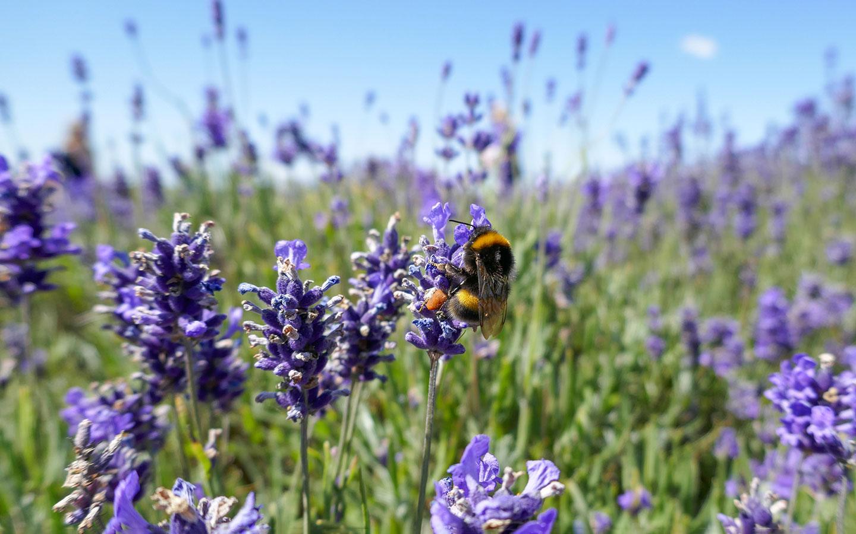 Bee enjoying the lavender flowers