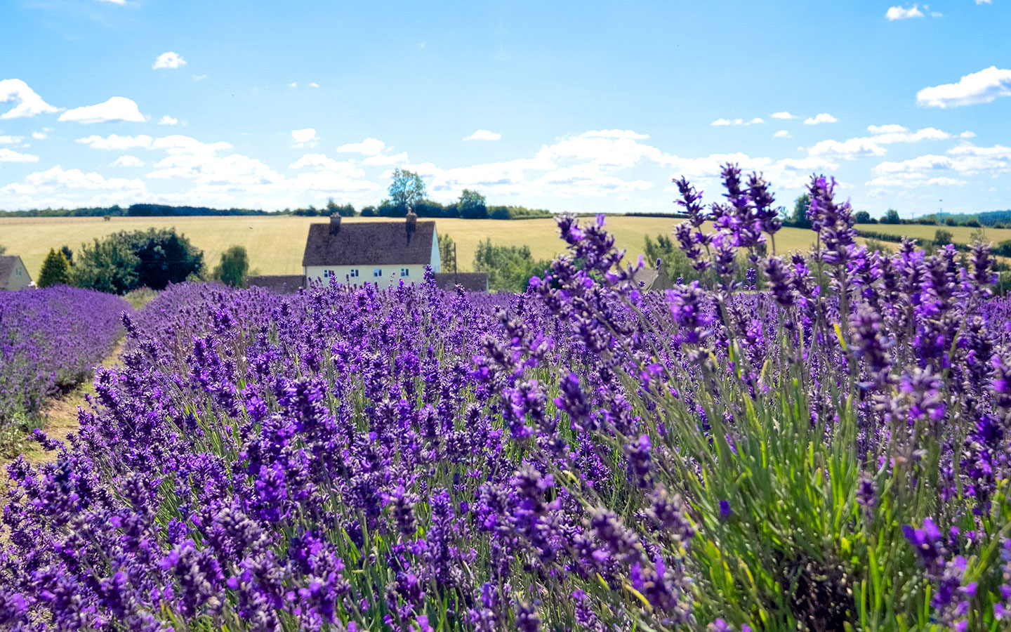 Visiting the Cotswold Lavender fields near Broadway