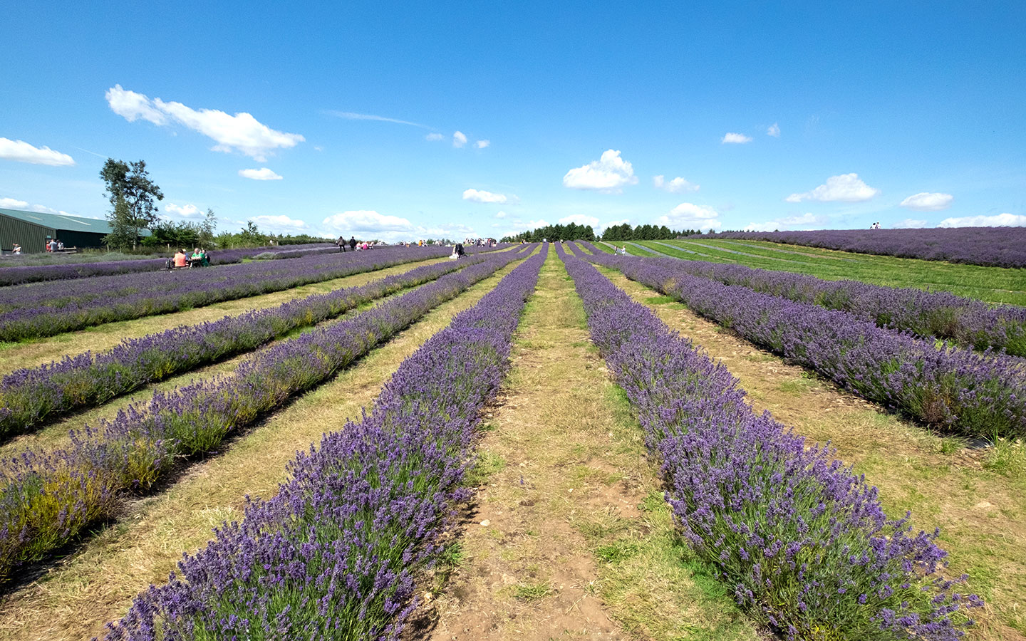 Exploring the Cotswold Lavender fields