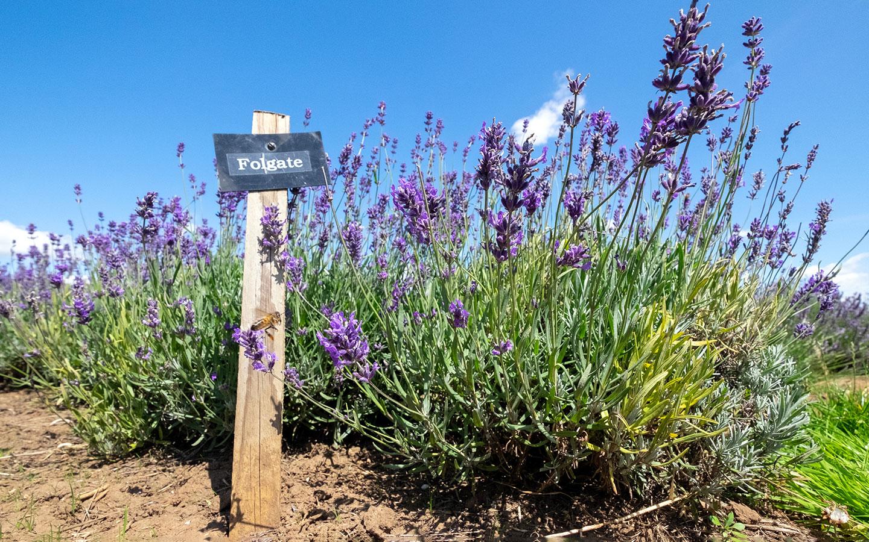 Different varieties of lavender