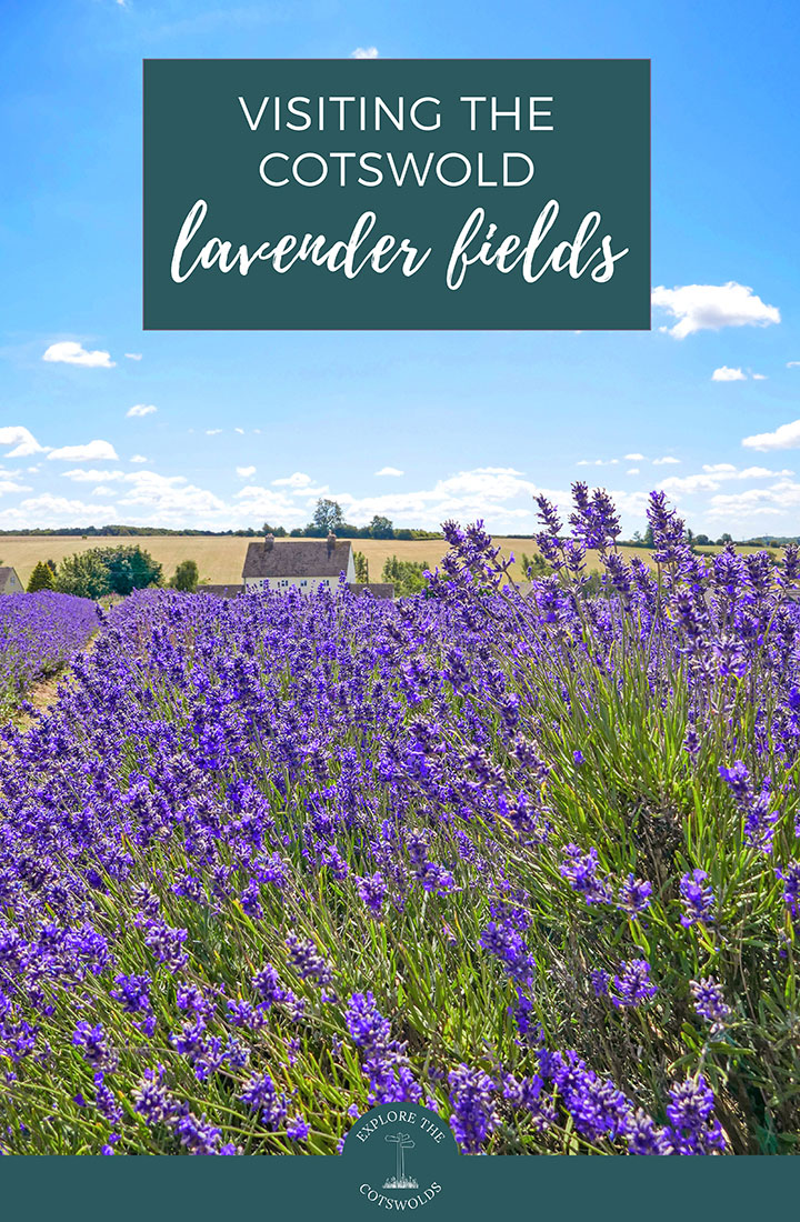 Your guide to visiting the Cotswold Lavender fields near Broadway, with how to get there, what to do and where to stay and visit nearby | Cotswold Lavender | English lavender fields | Flower fields in England | Things to do in the Cotswolds | Summer in the Cotswolds